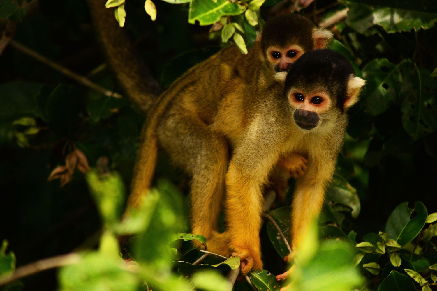 Clack-capped squirrel monkey and baby in the forests of San Buenaventura. Photo by Eduardo Franco Berton