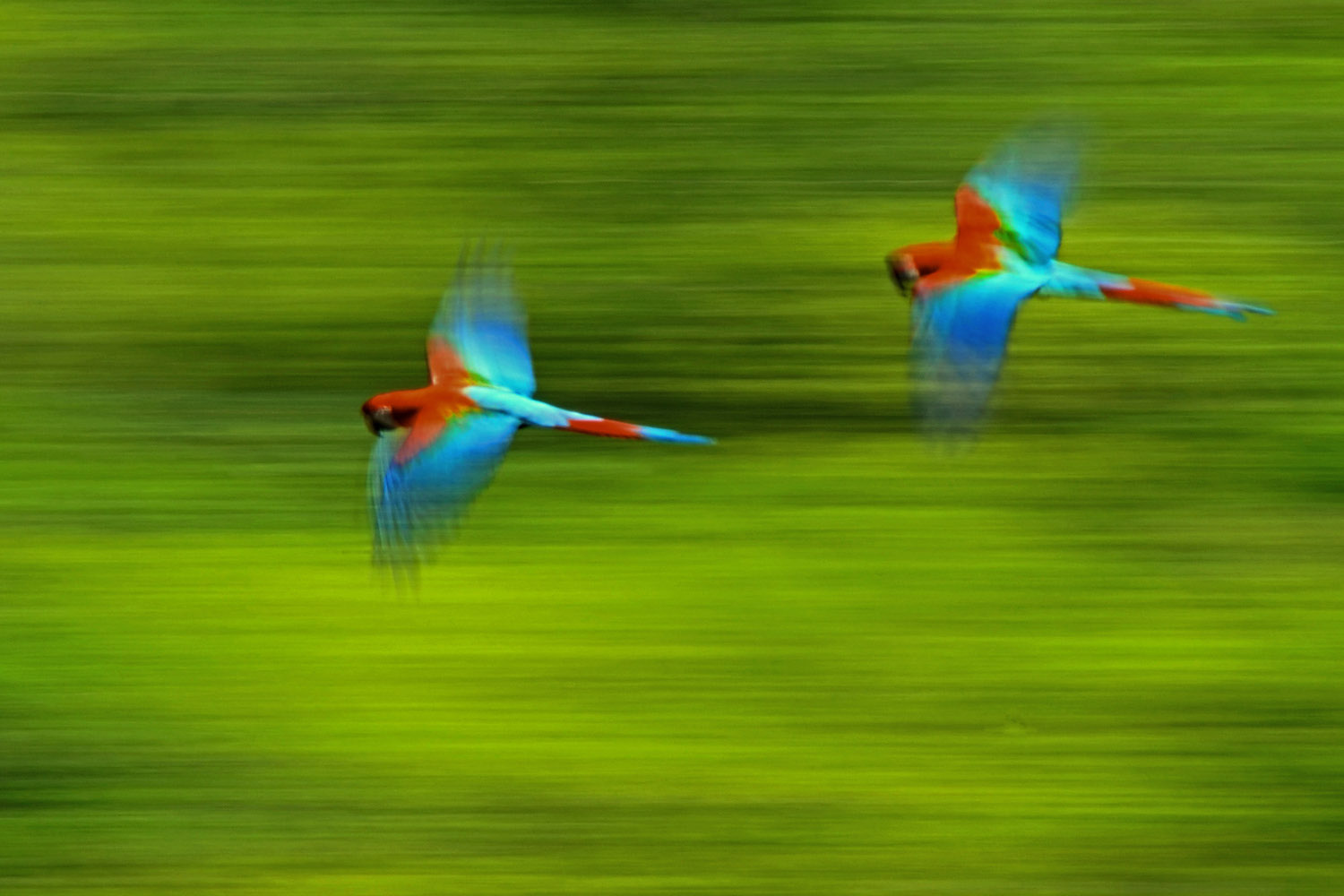 Two red macaws (Ara chloroptera) fly over Madidi National Park, home to 70 percent of the bird species in Bolivia. Photo by Eduardo Franco Berton