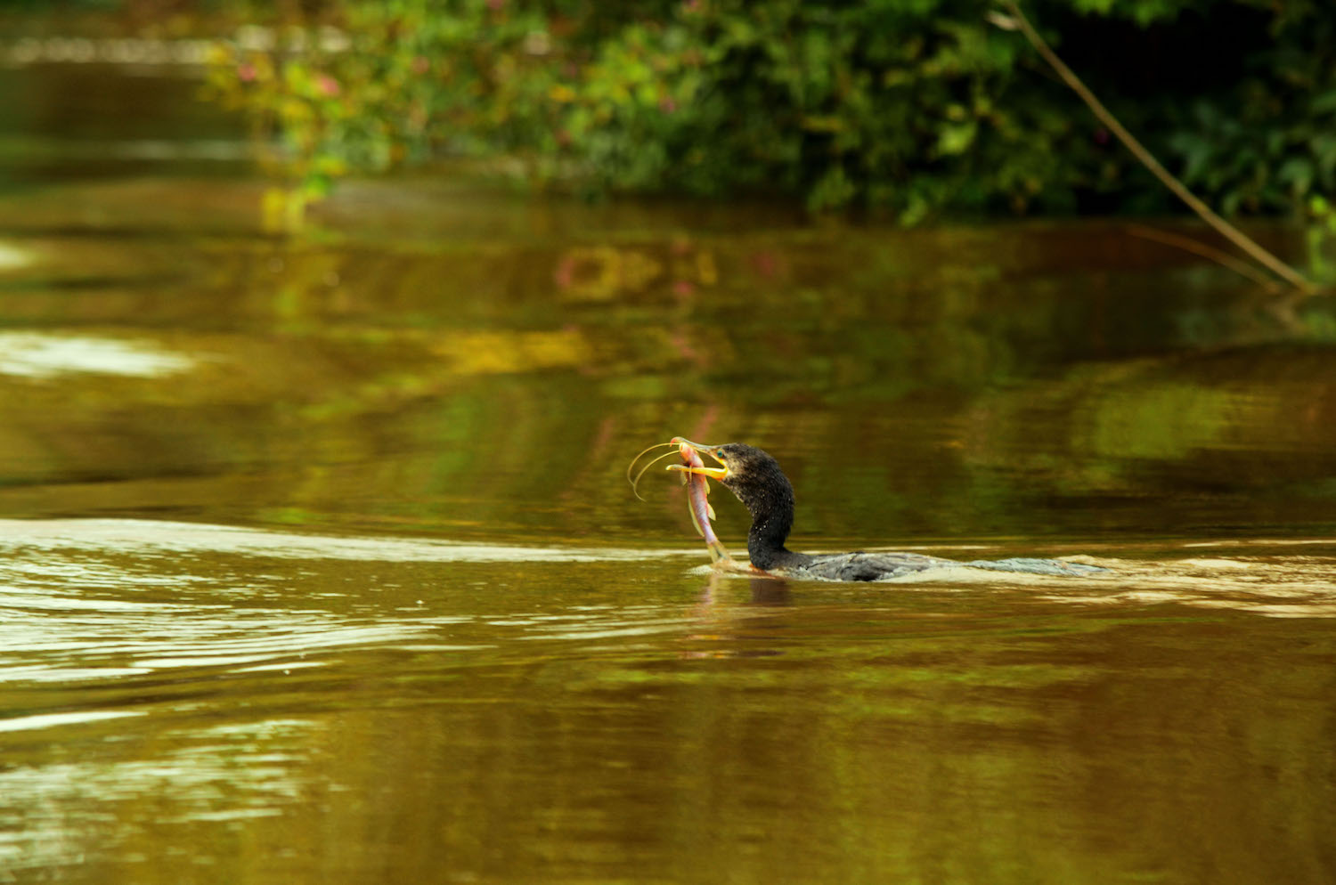 An ahinga (Anhinga anhinga) -- locally called a