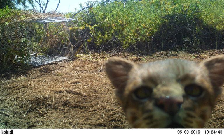 La curiosidad atrajo al gato y una cámara trampa lo registró. Foto: Cindy Hurtado y Álvaro García Olaechea.