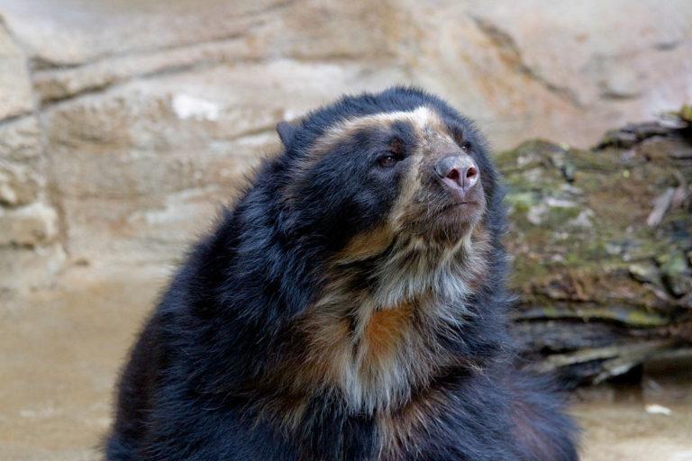 Tremarctos ornatus en el zoológico de Cincinnati. Foto de Greg Hume, con licencia bajo CC BY-SA 3.0.