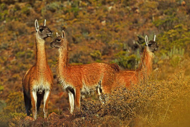 El guanaco está en peligro crítico de extinción y de continuar su cacería furtiva podría desaparecer en 30 años. Foto: Agencia Andina.