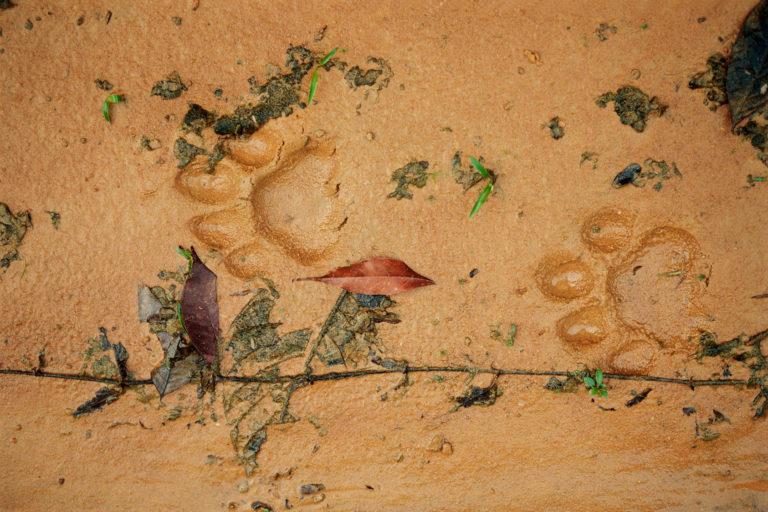 El Plan Jaguar 2030 busca frenar las amenazas para esta especies. Foto: Staffan Widstrand / WWF.