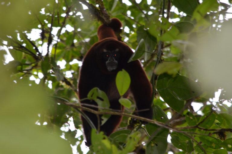 Los investigadores encontraron una población de Lagothrix flavicauda. Foto: Sean Mchugh y Jasmina McKibben / Rainforest Partnership