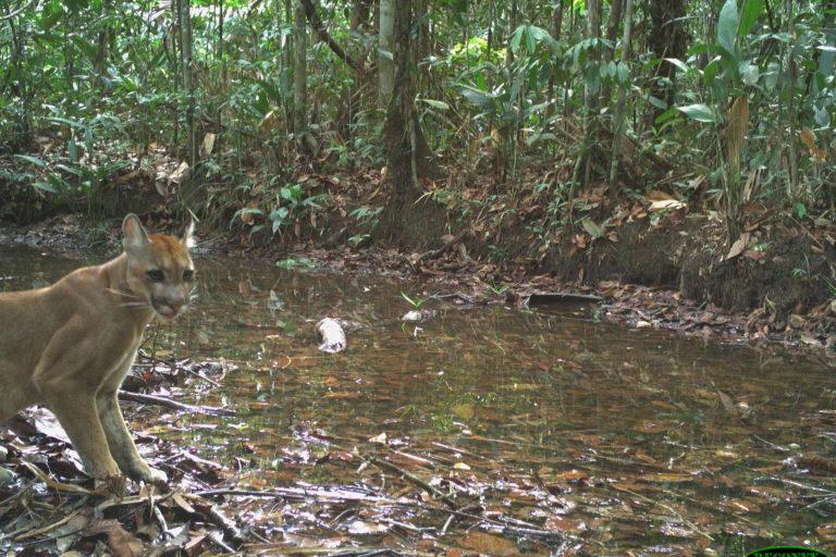 Puma (Puma concolor). Foto: Cámaras trampa WCS, Parque Nacional Natural El Tuparro.